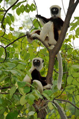 two sifaka sitting in a tree