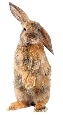 A bunny rabbit with one long ear raised up, listening.
