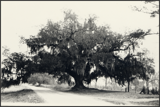 Miss Jane's Oak Tree