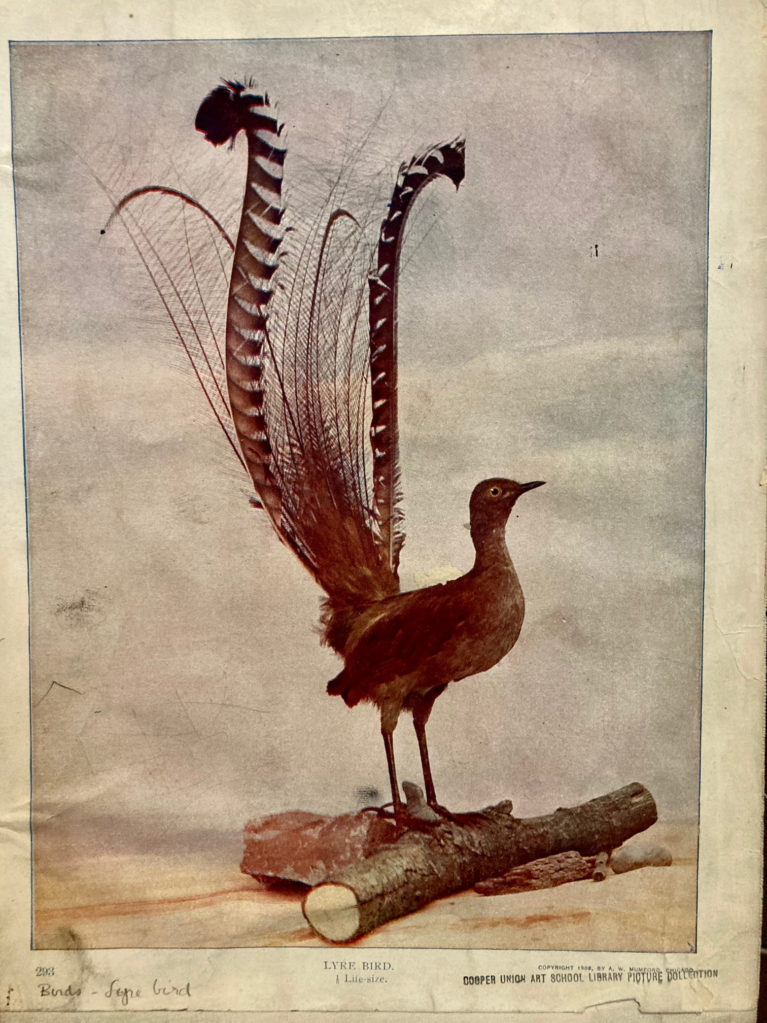 lyre bird - picture collection