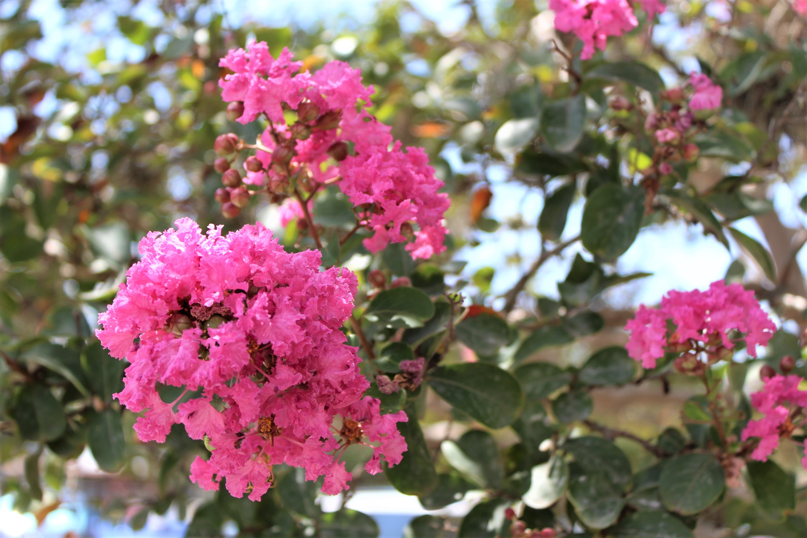Crepe Myrtle - Lagerstroemia
