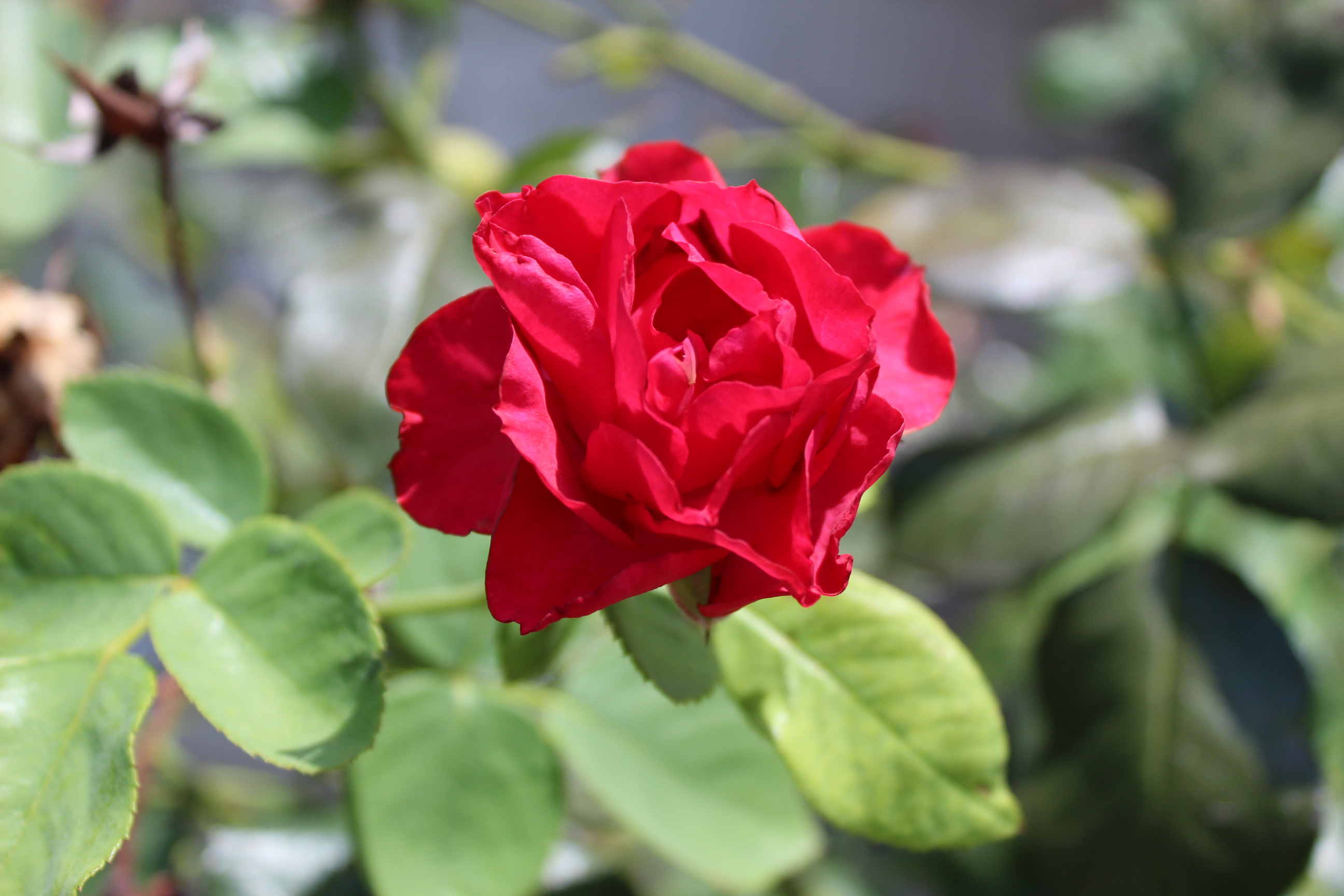 Knockout Rose  - Rosa 'Knock Out'