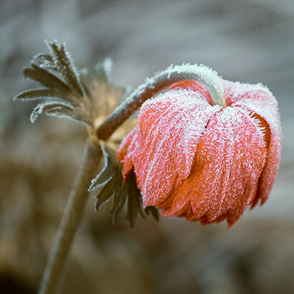 Frost covered drooping flower, dying from the cold