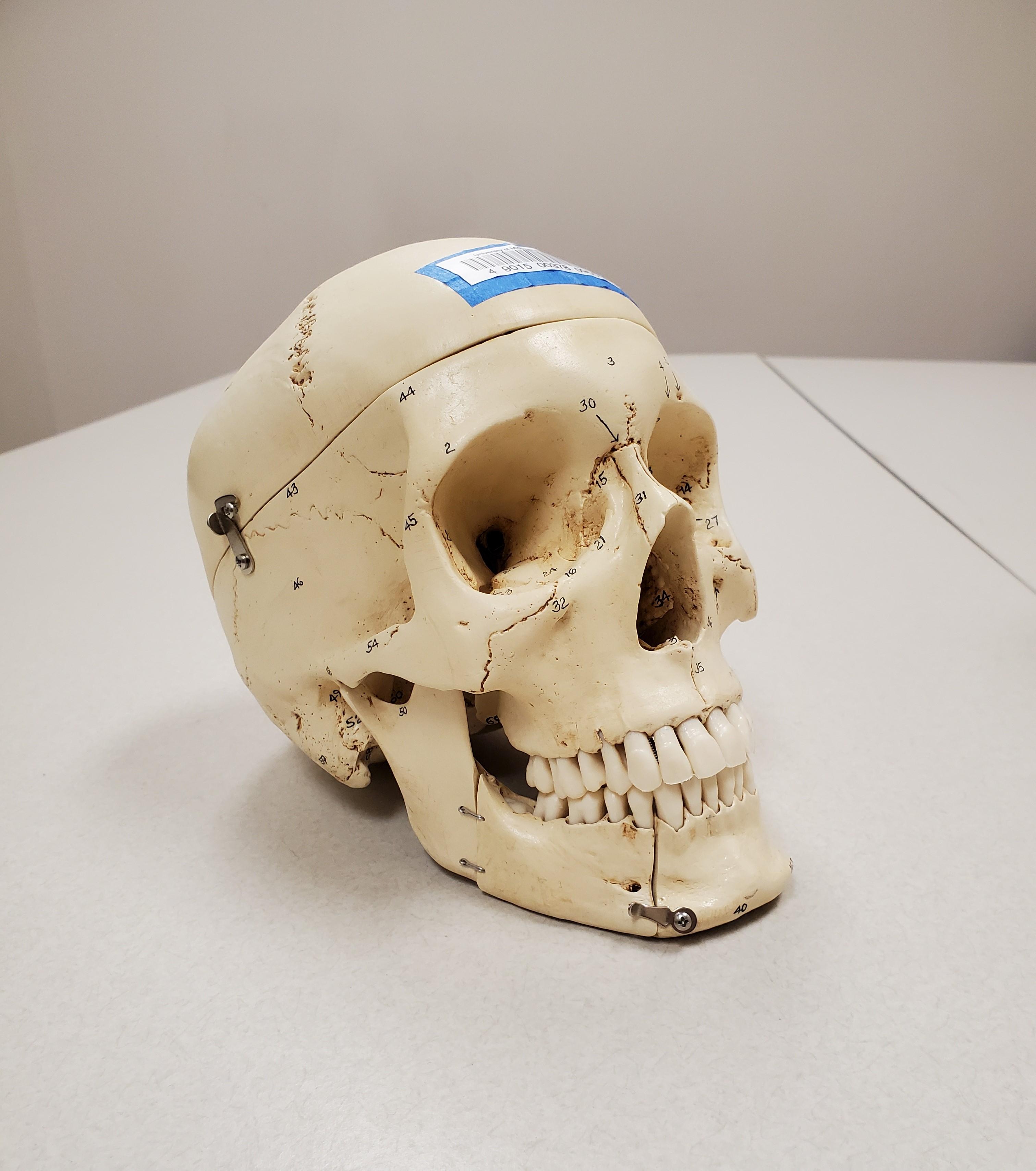 model human skull