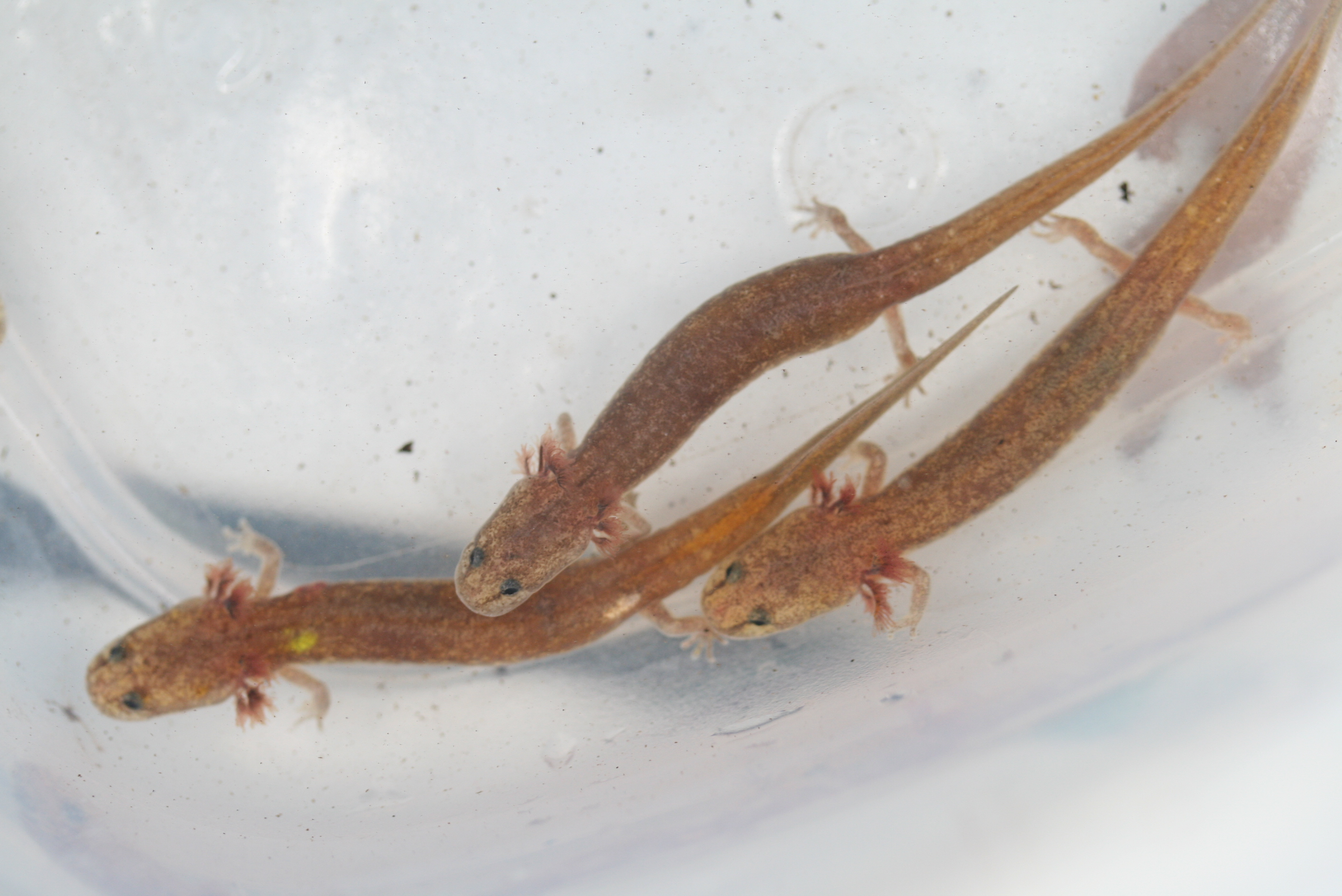 By Georgetown Salamander - At Twin Springs preserve on a monthy survey, CC BY-SA 3.0, https://commons.wikimedia.org/w/index.php?curid=27086717