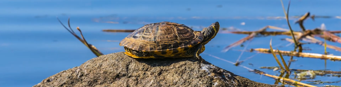 Turtle on a rock, head lifted, sunning themselves. Click to go to guide homepage